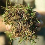 Invasive grasses