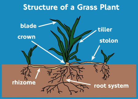 Grass Plant Structure